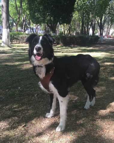 perro con displasia de cadera